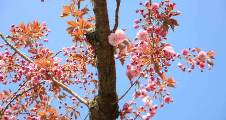 blooming cherry tree detail