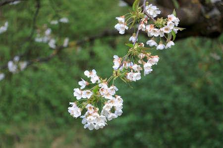 blooming cherry tree branch detail Zdjęcie Seryjne