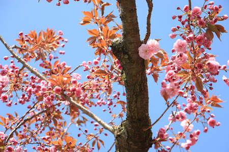 blooming cherry tree detail