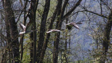 geese captured in flight Imagens