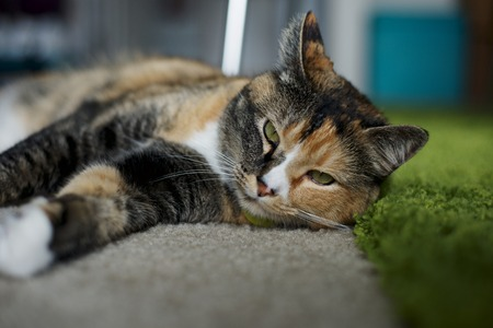 Cat laying on carpet next to a green rug.