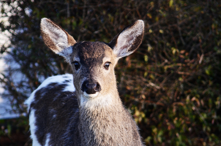Black-tailed deer fawn with piebald fur looking directly at camera. Stock Photo