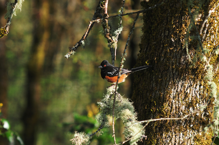 A Spotted Towhee on a branch of a tree.