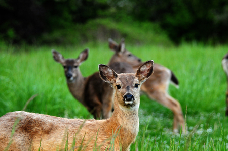 Deer laying down in a field, looking at camera. More deer visible in background. Stock Photo