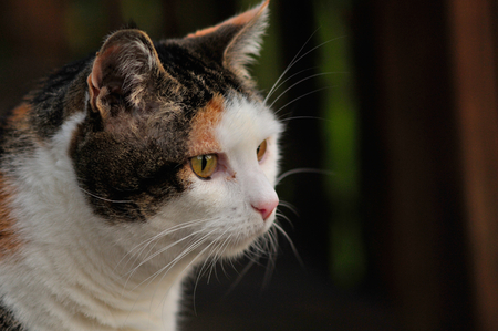 calico whiskers: Calico cat looking off to the right