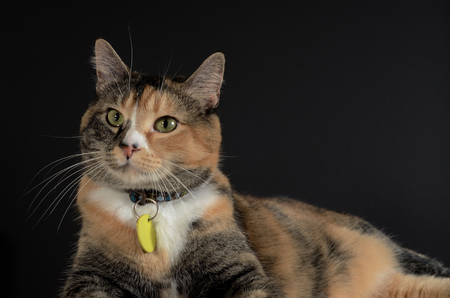 calico whiskers: Cat laying down in a relaxed pose Stock Photo