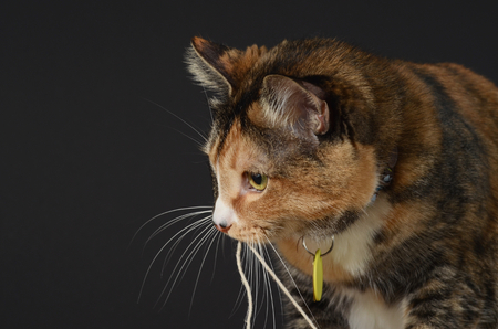 Cat holding a string in her mouth