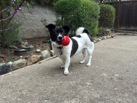 A small  white and black dog with floppy ears and a curled tail holding a ball in the side of its mouth in fenced backyard. Stock Photo