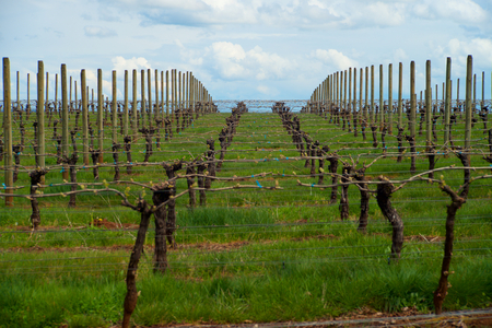 Looking down rows of vines in in a Vineyard in the Dundee Hills of Oregon shortly after Bud Break. Stock Photo - 94474005