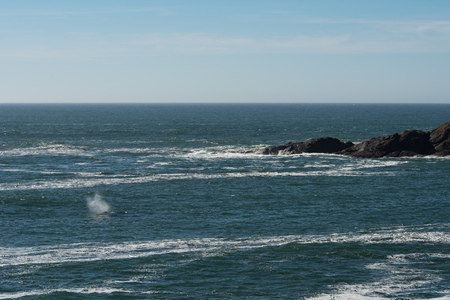 A Gray Whale (Eschrichtius robustus) spouting as seen from the shore of Depoe Bay, Oregon.