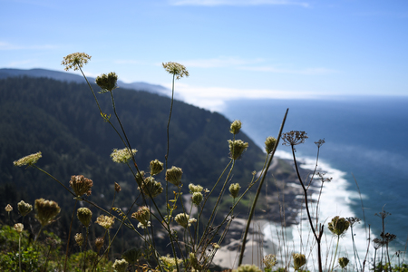 Queen Anne's Lace flowers with the coastline looking south from Cape Perpetua in the background Stock Photo - 99431901