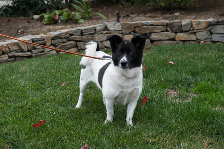 A small white and black dog with floppy ears and a curled tail on a leash standing on grass.