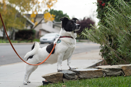A small white and black dog with floppy ears and a curled tail on a leash in a dramatic pose along a sidewalk. Stock Photo