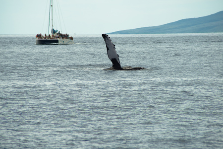 A Humpback Whale  raises a fin high above the water, off of the island of Maui, Hawaii.  a boat full of tourists watches in the background. Stock Photo