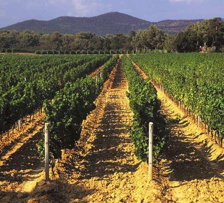 FRANCE. les cotes d'azur. vignobles. clos de miraille. nr. St.Tropez. Banque d'images