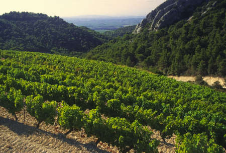 rhone: cotes du rhone vineyards dentelles de montmarail vaucluse provence south of france
