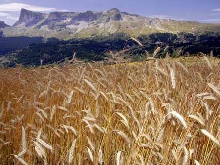 Alpes: france cornfield devoluy region haute alpes french alps