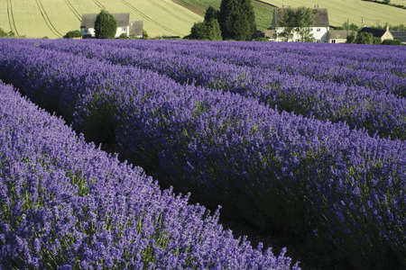 lavender fields in rows agricultural landscape rural Stock Photo