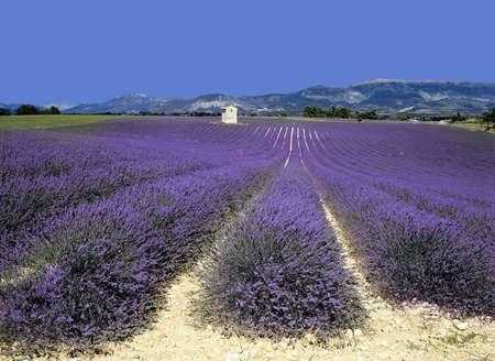 lavendin: lavender fields provence france farming agriculture french europe