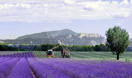 flowering field: lavender fields provence france farming agriculture french europe