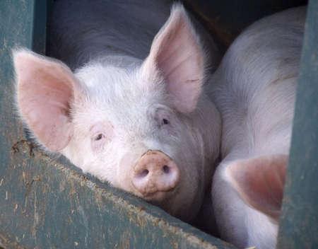 pigs Stock Photo