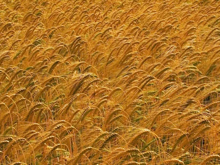 farmland with cereal crops harvest harvesting food grow growth growing Stock Photo - 678247