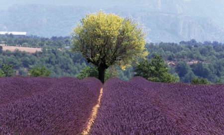 plateau of flowers: lavender fields provence