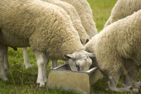 trough: sheep feeding in trough Stock Photo