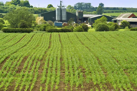 crops in rows farmland field green colour photo