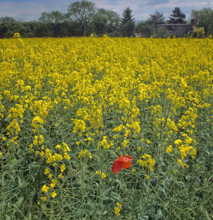 oilseed rape: poppy in field of oil-seed rape thatched cottage