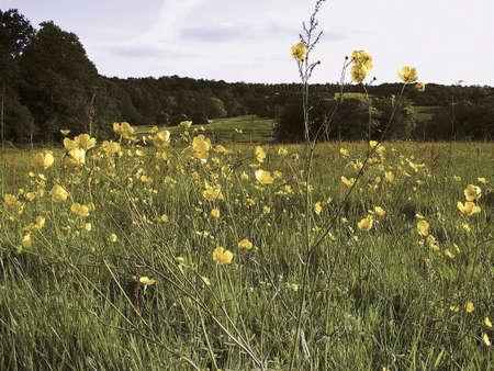 enfield: ranuncoli fiori selvatici crescente trent paese Enfield parco parco nord Londra Archivio Fotografico