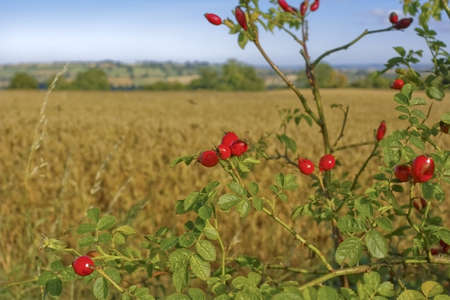 decaying: red berries on tree and bush in countryside Stock Photo