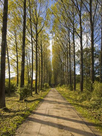 poplar: Umberslade an avenue of poplar trees road lane
