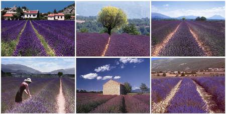 lavendin: france provence drome LAVENDER fields plateau de valensole region provence alpes du de haute provence