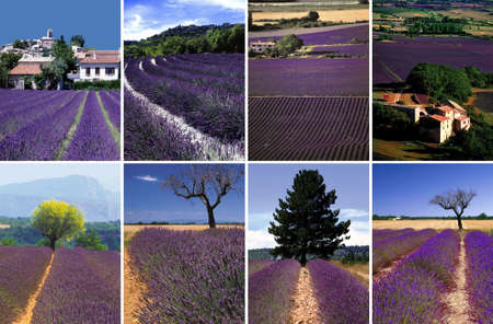 lavendin: france provence drome LAVENDER fields near valreas region provence alpes du de haute provence drome, images suitable for montages, collages, backgrounds or as individual images