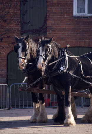 horse pull: shire horses pulling cart in harness pair workhorses Stock Photo