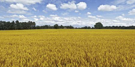arable: farmland cornfield  harvesting of arable crops