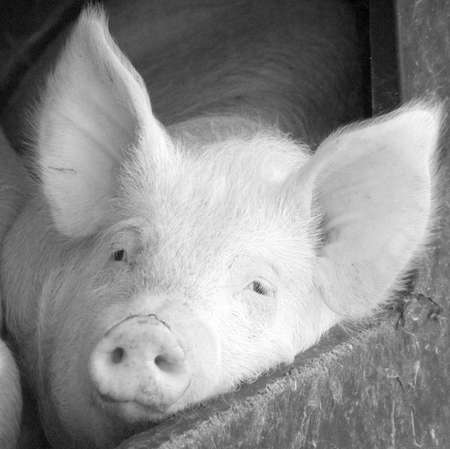 bacon portrait: A pig in a sty on a farm.