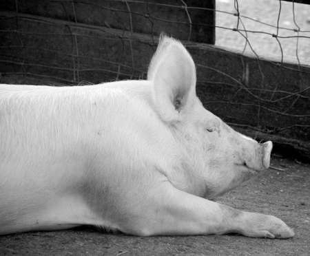 sty: A pig in a sty on a farm.