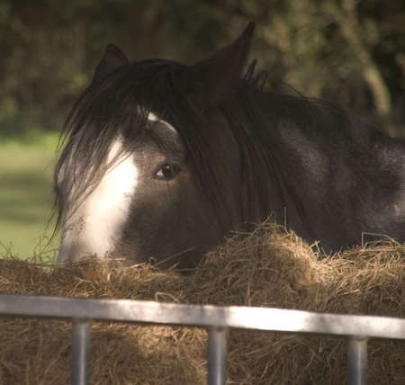 shire horse: Shire horse eating hay in field on farm. Stock Photo