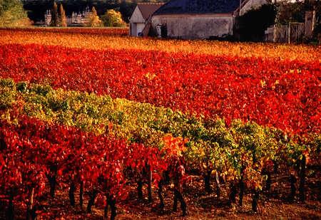 loire: Vineyards in the loire valley france.