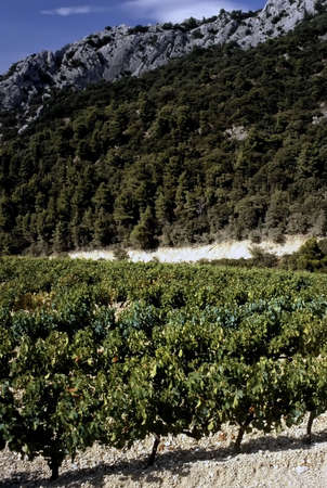 viniculture: Grapes growing in cote du rhone vineyards in vaucluse provence south of france.