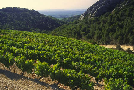 Grapes growing in cote du rhone vineyards in vaucluse provence south of france.