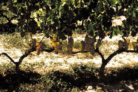 viticulture: Grapes growing in cote du rhone vineyards in vaucluse provence south of france.
