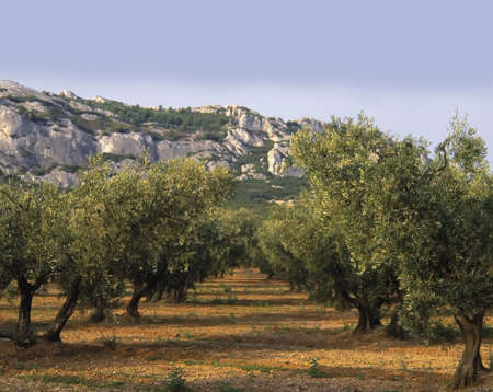rhone: france provence bouches du rhone provence the alpilles groves of olive trees