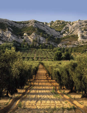 olive groves: france provence bouches du rhone provence the alpilles groves of olive trees