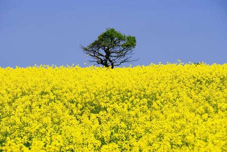 subsidy: A field of oil seed rape