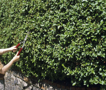 shears: A woman cutting a hedge with shears.