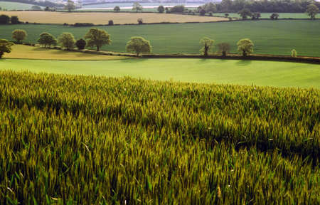counties: View over field of spring wheat and farmland Hertfordshire Home Counties England