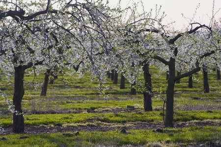 whitsun: blossom apple orchards vale of evesham worcestershire Stock Photo